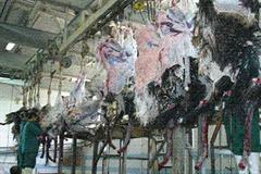 فروش لاشه شتر مرغ
