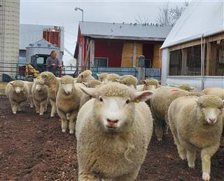 دوره آموزشی پرواربندی گوسفند